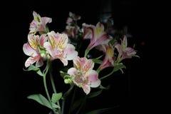 Alstroemeria Цветки от Южной Америки На черной предпосылке стоковые изображения rf