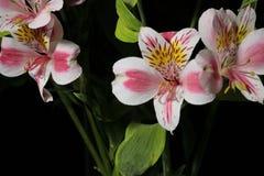 Alstroemeria Цветки от Южной Америки На черной предпосылке стоковое изображение