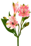 Alstroemeria. Beautiful pink alstroemeria on a white background stock images