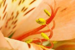 Alstroemeria Immagini Stock
