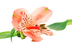 Alstroemeria. Lonely alstroemeria isolated on white background stock photos
