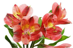 Alstroemeria. Fresh alstroemeria flowers isolated on white background stock image