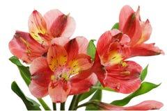 Alstroemeria. Fresh alstroemeria flowers isolated on white background Stock Image