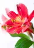 Alstroemeria Imagem de Stock