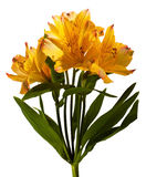 Alstroemeria. Yellow alstroemeria on the white royalty free stock image