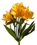 Alstroemeria Royalty Free Stock Image