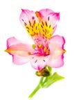 Alstroemeria Royalty Free Stock Photography