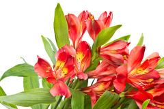 Free Alstroemeria Royalty Free Stock Photo - 21211955
