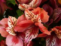 Alstroemeria. Pink stripy alstroemeria flowers and leaves background stock photo