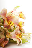 Alstroemeria Royalty Free Stock Images