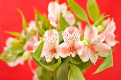 Alstroemeria Fotos de Stock Royalty Free