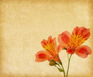 Alstroemeria. Royaltyfri Fotografi