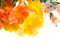 Alstroemeria Royalty Free Stock Photos