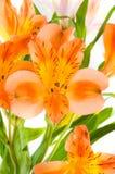 Alstroemeria Fotografia Stock