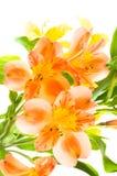 Alstroemeria Stock Image