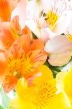 Alstroemeria. / flower isolation on white Royalty Free Stock Photos