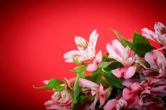 Alstroemeria Immagini Stock Libere da Diritti