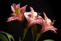 Alstroemeria. Flowers in black background Royalty Free Stock Photo
