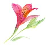 Alstroemeria Immagine Stock