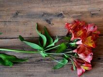 Alstroemeria Royaltyfria Bilder