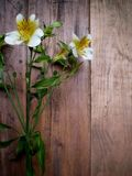 Alstroemeria Royaltyfri Fotografi