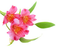 Alstroemeria. Pink alstroemeria on white background stock photography