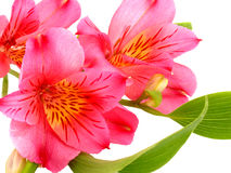 Alstroemeria. Closeup on white background stock photography