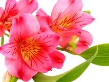 Alstroemeria Photographie stock