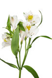 Alstroemeria Στοκ Φωτογραφίες