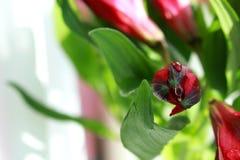 Alstroemeria Στοκ Εικόνα