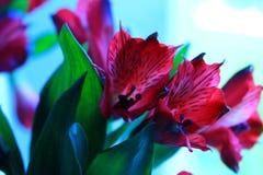 Alstroemeria Fotografie Stock