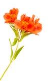 Alstroemeria arancio isolato su bianco Immagine Stock Libera da Diritti