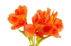 Alstroemeria arancio isolato su bianco Fotografia Stock