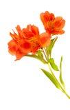 Alstroemeria arancio isolato su bianco Immagini Stock