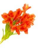 Alstroemeria arancio isolato su bianco Immagine Stock