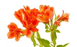 Alstroemeria arancio isolato su bianco Fotografie Stock Libere da Diritti