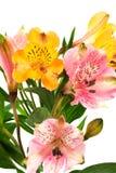 Alstroemeria arancione e dentellare Fotografia Stock Libera da Diritti