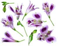 Alstroemeria auf einem weißen Hintergrund lizenzfreie stockfotos