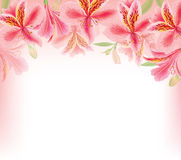 Alstroemeria background Royalty Free Stock Image