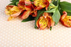 Alstroemeria on a background of polka dots. Empty space for text. Alstroemeria flower on a background of polka dots, top view. Peruvian lilies. Empty space for royalty free stock photo