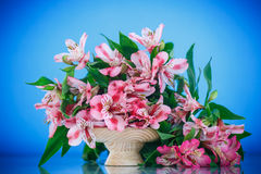 Alstroemeria. Beautiful bouquet of flowers alstroemeria on a blue background stock images
