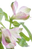 Alstroemeria. Beautiful flower on light background Royalty Free Stock Images