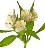 Alstroemeria bianco Fotografie Stock Libere da Diritti
