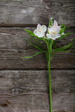 Alstroemeria bianco Immagine Stock Libera da Diritti