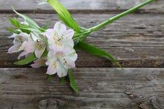 Alstroemeria bianco Fotografie Stock