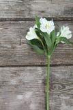 Alstroemeria bianco Fotografia Stock