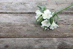 Alstroemeria bianco Immagini Stock