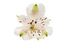 Alstroemeria bianco Immagini Stock Libere da Diritti