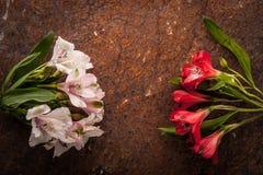Alstroemeria bianco e rosso sui precedenti di pietra marroni Immagine Stock Libera da Diritti
