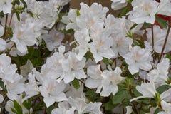 Alstroemeria bianco in fioritura Fotografia Stock